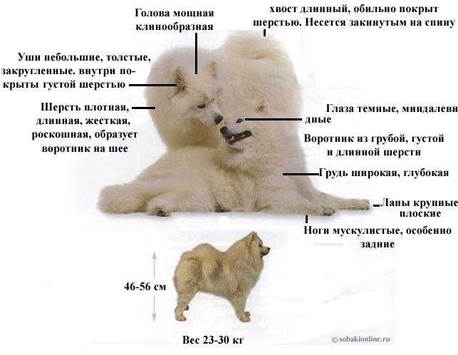 http://sobakionline.ru/images/samoed.jpg